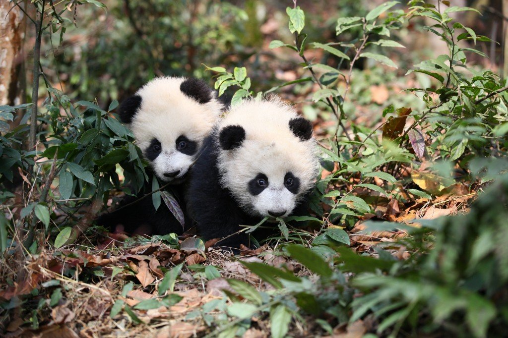 Explore.org Wolong Giant Panda Cam